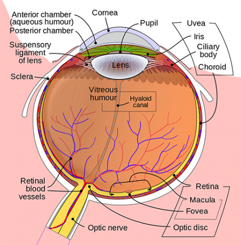Anatomy Of The Eye Kellogg Eye Center Michigan Medicine